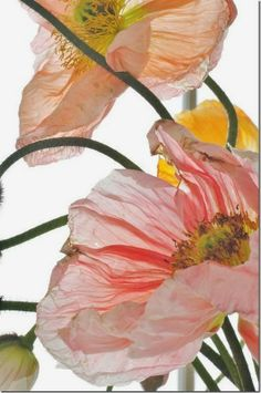 303Pixels: Poppies