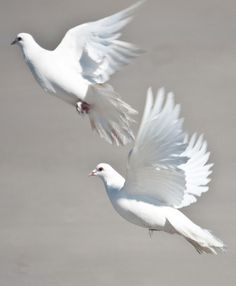 """On the wings of a snow white Dove..."""