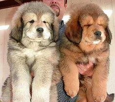 Tibetan Mastiff puppies. So big! So fluffy! Source