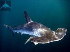 Обыкновенная или гладкая акула-молот. Sphyrna zygaena.