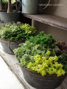 succulents in vintage tubs