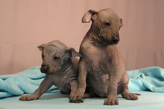 Xolo DogBlog » Puppy imagery