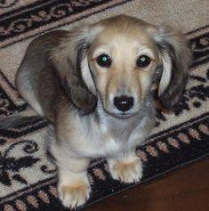 English Cream Dachshund #dachshund
