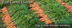 Carrot Harvesting, Handling & Storage