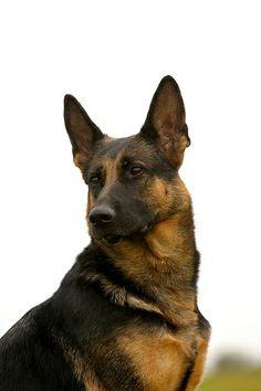 Deutscher Schaeferhund   Neue Pictures von unseren Lieblingen! Hier noch ein Tip: http://besteversicherungenonline.de/hundever