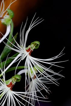 White Feather Orchid