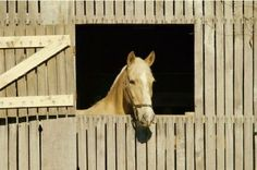 Most horse owners know that horses are social creatures. They live in herds and enjoy roaming the countryside while communing with other horses. Just going from stall to empty pasture is not good enough. A companion animal for your horse is a wonderful idea – keeps them happy and safer. Habitat for Horses has burros that are simply perfect as a companion to your horse. Call us to set up an appointment to come out to ranch, visit with them and adopt one. Our office hours are 8:00am – 4:00pm…