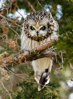 Short-eared Owl by Dave Van de Laar*
