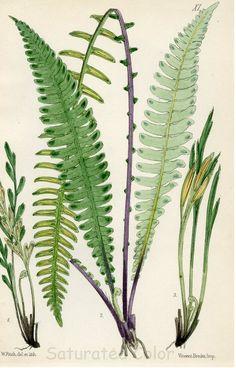 "petitcabinetdecuriosites: ""(via Antique Circa 1880 Hand Colored - Fern Bookplate - Print - Plate "" Vintage Botanical Prints, Botanical Drawings, Botanical Art, Motif Floral, Arte Floral, Impressions Botaniques, Illustration Botanique, Nature Prints, Hand Coloring"