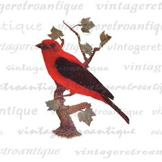 Printable Scarlet Tanager Bird Digital Image Red Bird Download Graphic Vintage Clip Art. High resolution printable digital illustration from vintage artwork for making prints, fabric transfers, t-shirts, and more great uses. Great for etsy products. This digital graphic is large and high quality, size 8½ x 11 inches. A Transparent background png version is included.