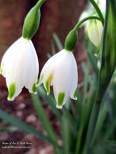 Leucojum ~ spring flowering bulb (Garden of Len & Barb Rosen)