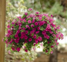 1000 images about wave petunias on pinterest petunias - Wave petunias in containers ...