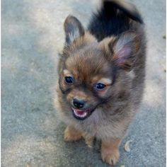 April, a Pom/Chi puppy available for adoption at Animal Rescue of Fresno. Too. Freaking. Cute.