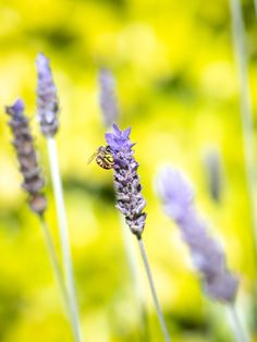 Honey Bee on Lavender / Clickasnap