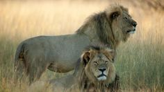 """Cecil the Lion Last Photo: """"He Was the Most Confident Lion You Ever Met"""" - Hollywood Reporter"""
