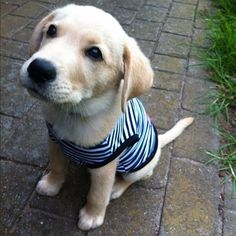 I've always wanted a golden retreiver