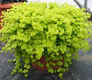 Lysimachia goldilocks.  One of my favorite trailers for summer pots and an awesome groundcover.