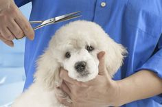 We provide complete professional grooming services for dogs and cats. Regular pet grooming keeps a dog clean and healthy. Micro Teacup Poodle, Tea Cup Poodle, Dog Grooming Business, Cat Grooming, Le Husky, Pet Dogs, Dog Cat, Dog Cleaning, Large Animals