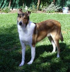 Smooth-coated collie (beautiful, but less upkeep than the regular collies!).  GREAT family dog!