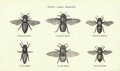 bee scientific illustration - Google Search