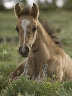 Mustang / Wild Horse Colt Foal Resting Portrait, Montana, USA Pryor Mountains Hma Premium Poster
