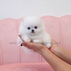 Cute Baby Puppies, Teacup Puppies For Sale, Cute Dogs And Puppies, Cute Babies, White Pomeranian, Teacup Pomeranian, Pomeranian Puppy, Pomeranians, Dallas