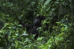 Visiting mountain gorillas in their natural habitat fosters a greater appreciation for the animals —and helps ensure their conservation