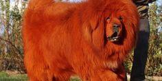 Bổ sung kiến thức về giống chó Ngao Tây Tạng cực ngầu