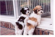 As devilish as havanese can be, I still want a million of em