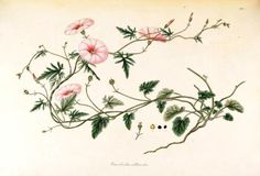 """Liseron des garrigues"""" Ferdinand Bauer 1760-1826"""