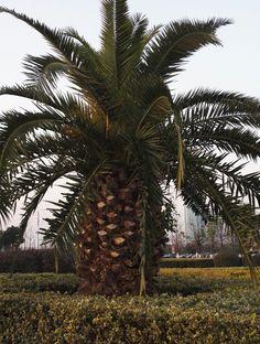 Super pineapple