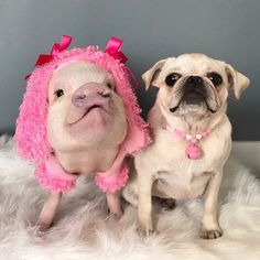 prissy_pig Happy #NationalDogDay from Posey the pink poodle and Pigtail the white pug!🐷💕🐶#minipig #whitepug #pigandpug #PoseyandPigtail #PrissyandPop  2017/08/26 23:11:26