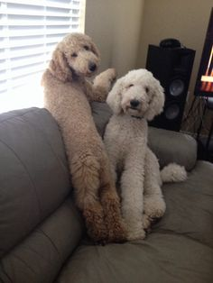 Non-Poodle' cuts - Offensive? - Page 2 - Poodle Forum - Standard ...