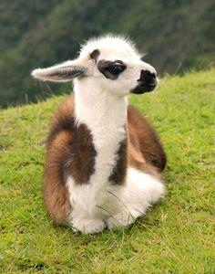 adorable baby llama