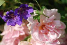 Rosa Felicia & Geranium magnificum.