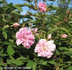 Rosa Centifolia-ryhmä? 'Onni'