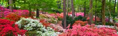 Spring's (late March-April)  beautiful display of over 20000 azaleas, plus dogwood, daffodils, tulips and more at Callaway Gardens, Pine Mountain, GA