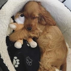 How to Do Alpha Exercises With a Dominant Dog To be featured. Perro Cocker Spaniel, Golden Cocker Spaniel, Cute Baby Animals, Animals And Pets, Pet Dogs, Dog Cat, Doggies, Cute Puppies, Dogs And Puppies