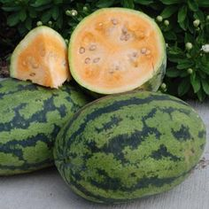 ORANGEGLO: One of the best orange fleshed watermelons.  Brilliant deep orange flesh is sugary, crisp and almost tropical tasting.  Fruits weight 15-20 pounds.  90 days