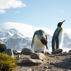 South Georgia Island's St. Andrew's Bay is Mecca for King Penguin viewing. I decided to zero in on these two of the hundreds of thousands there. I lay down on my stomach, extended the camera at arms length and waited for them to wander over and check me out. Photo by @danwestergren stop by there to see more from this journey. #ngexpeditions