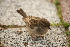 Little Sparrow- Eating Sparrow Photo- Lonely Sparrow Print- Professional Photo Of Little Bird- Puffy Bird Print-  Amazing Sparrow Photo. $24.00, via Etsy.