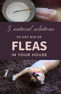 Get rid of your flea infestation by checking out these ingredients! Read this article, you will exterminate the fleas in your house in no time. Natural Flea Remedies, Dog Flea Remedies, Home Remedies For Fleas, Flea Remedy For Dogs, Kill Fleas In House, Kill Fleas In Carpet, Natural Flea Killer, Natural Flea Spray, Flea Spray For House