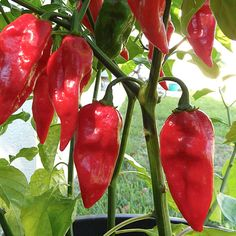 Devil's Tongue Red. 250,000 - 500,000 Scoville Units. The original Devil's Tongue is a Yellow variety developed by an Amish farmer in Pennsylvania. Later on a red variety emerged. It has a higher heat level than it's yellow relative and a totally different flavor. Pods also get wider and larger with a thicker skin.