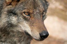 SITUACIÓN ACTUAL DEL LOBO IBÉRICO  Y SOS LOBO CANTABRIA, Animal en Peligro de Extinción