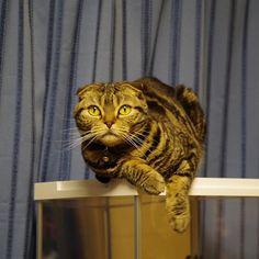ただいまっ!びゃー…絶対ひいたぜこれ…。。 風  邪。 先週の出張でひいたなーこれー。。 葛根湯カモーン!!щ(゚Д゚щ) #スコティッシュフォールド #スコティッシュ #scotishfold  #ネコ #ねこ #猫 #cat #愛猫 #にゃんこ #にゃんだふる #ねこ部 #mycat #CatPic #CatPhoto #Catstagram #葛根湯キメるかあ #ネコ科は風邪ひかねえからなあ😼