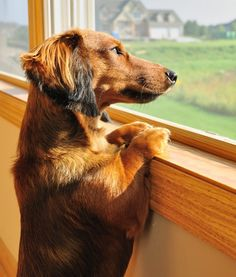 Does your dog suffer from separation anxiety? Marty Becker offers suggestions for putting a stop to your pet's worry. Long Haired Miniature Dachshund, Miniature Dachshunds, Long Haired Dachshund, Dachshund Love, Daschund, Dachshund Puppies, Dog Separation Anxiety, Dog Anxiety, Scottish Terrier