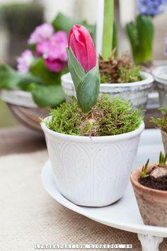 Trädgårdsflow: Växthus vår/ a single tulip