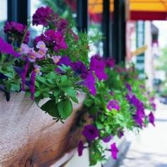 How to care for petunias in containers