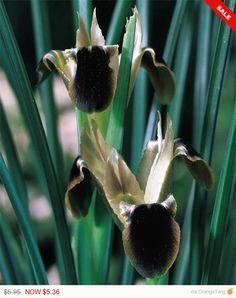 Snakes Head Iris - HERMODACTYLUS IRIS TUBEROSUS, Black Iris from CaribbeanGarden on Etsy Studio