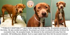 JENGA – A1094430 My name is JENGA. My Animal ID # is A1094430. I am a neutered male brown and white am pit bull ter mix. The shelter thinks I am about 1 YEAR 1 MONTH old.  I came in the shelter as a STRAY on 10/23/2016 from NY 11434, owner surrender reaso